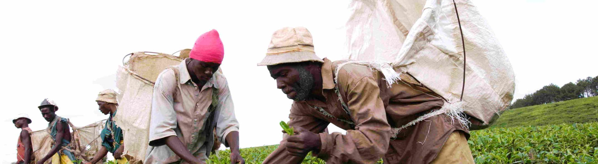 A tea co-op in Malawi in the fields